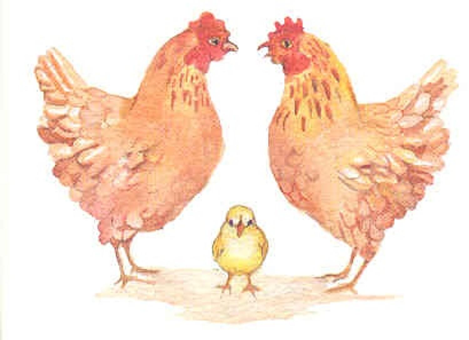 Old  mother hens
